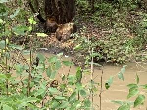 Beaver-eaten-tree-2-100219